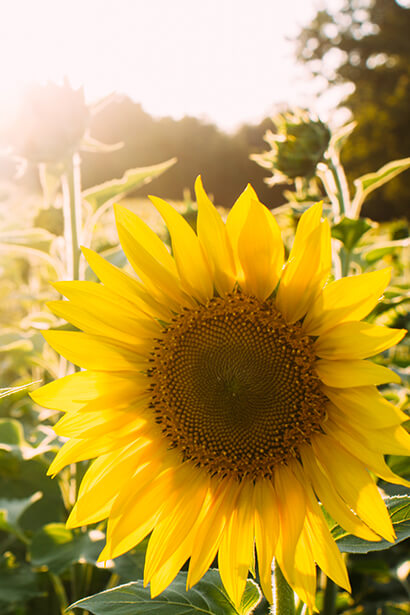 Sunflower Oil and Delicius Products: The reasons why
